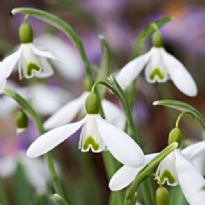 Snowdrop Double Flowered